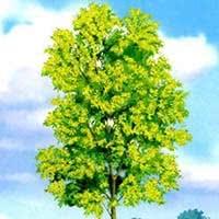 Наглядно-дидактическое пособие «Деревья»