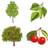 Деревья, кустарники, плоды. Лото.