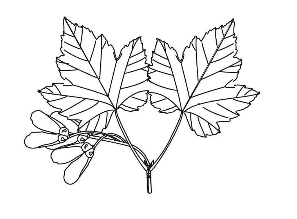 Раскраска деревья и их листья картинки