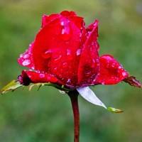 Мокрый лепесток - колыбельная песня природы